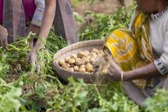 En barnarbetare på att se i potatiskolonifält i Thakurgong, Bangladesh arkivfoto