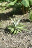 En barnslig ananasväxt som växer i den tropiska solen arkivbilder