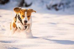 En beaglehund som kör i ett fält som täckas i snö fotografering för bildbyråer