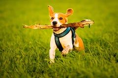 En beaglehund som kör med en pinne i dess mun i ett gräsfält i solnedgång arkivbild