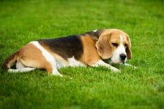En beaglehund som ligger på ett grönt gräs Royaltyfria Bilder