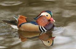 En bedöva manlig simning för galericulata för Aix för mandarinand i en sjö royaltyfri foto