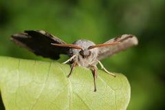 En bedöva poppelHök-mal Laothoe populi som vilar på ett blad Arkivfoton