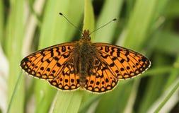 En bedöva sällsynt liten Pärla-gränsad Fritillaryfjäril, den Boloria selenen som sätta sig på gräs med dess vingar, fördelade fotografering för bildbyråer