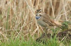 En bedöva sällsynt manlig Bluethroat, Lusciniasvecica som söker för mat i gräset arkivfoto