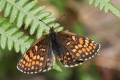 En bedöva sällsynta Heath Fritillary Butterfly, den Melitaea athaliaen som sätta sig på en bräken med spridning, påskyndar royaltyfri bild