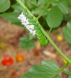 En bedövad tomat/tobak Hornworm som värden till parasitiska braconidgetingägg Royaltyfri Foto