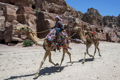 En beduinpojke rider ett par av kamel på Petra i Jordanien Royaltyfri Foto