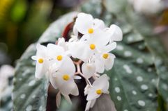 En begoniablomma med polkadotbladet royaltyfria foton
