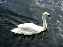 En behagfull svan glider längs floden Arkivfoto