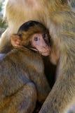 En behandla som ett barnbarbary macaque som äter i upperen, vaggar område av den Gibraltar naturreserven arkivbilder