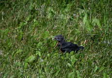 Behandla som ett barn blackbirden som kallar för hans, fostrar arkivfoto