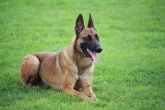 En belgisk Malinois fårhund som ligger i gräset som han inte flyttar royaltyfria bilder