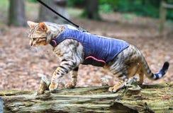 En bengal katt i en sele royaltyfria bilder