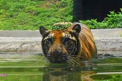 En Bengal tiger på zoologiska trädgårdar, Dehiwala colombo lankasri Royaltyfri Foto