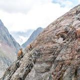 En bergsfår med en behandla som ett barn Royaltyfria Bilder