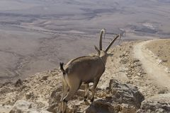 En bergsfår med härliga stora horn går bland vagga Arkivfoton