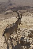En bergsfår med härliga stora horn står bland vagga Arkivfoto