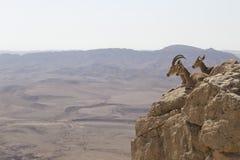 En bergsfår med stora horn och två unga getter vilar på Arkivbilder