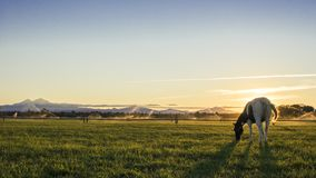 En betande häst i Terrabone, Oregon Arkivbild