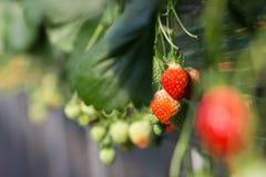 En bild av den riped jordgubben med dess växt arkivbild