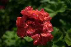 En bild av en rödaktig orange blomma royaltyfri bild