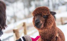 En bild av en turist som matar en brun alpaca arkivbilder