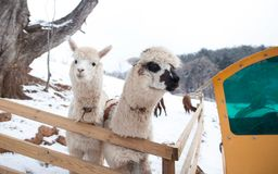 En bild av vit alpaca två royaltyfri foto