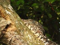 En bildsk?rm?dla som har en vila p? ett tr?d p? den Bentota floddjungeln i Sri Lanka royaltyfri fotografi