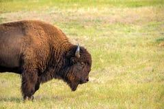 En bison royaltyfria bilder