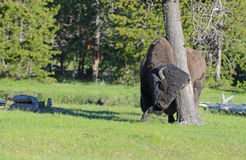 En bison som gnider ett träd. arkivbild
