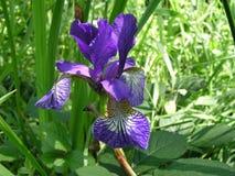 En bjärt iris proklamerar dess själv Royaltyfri Bild