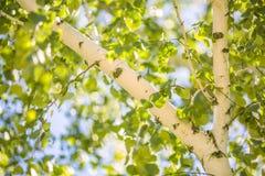 En björk och sidor av ett björkträd i sommar Gräsplansidor och stam av björkträdet med slut för björkskäll upp på himmelbakgrund Arkivfoto
