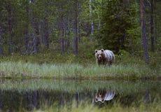En björn på sjön Arkivbild