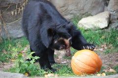 En björn, en pumpa royaltyfri foto