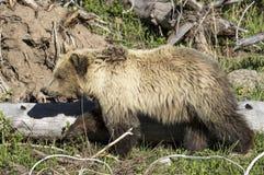 En björngröngöling i yellowstone Royaltyfria Foton
