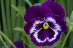 En blå altfiolblomma om den soliga dagen för sommar i trädgården Royaltyfria Bilder