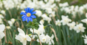 En blå blomma i fokusen som ut står Fotografering för Bildbyråer