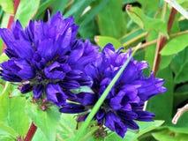 En blå dahlia i en isländsk trädgård Fotografering för Bildbyråer