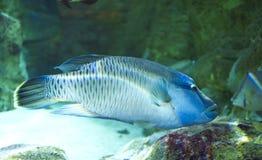 en blå doktorsfisk i hans behållare royaltyfri fotografi