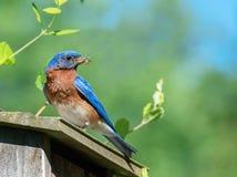 En blå fågel med mat för dess behandla som ett barn Royaltyfri Fotografi
