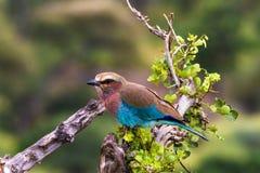 En blå fågel på en trädstubbe Arkivfoton