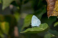 En blå fjäril för järnek som vilar på ett grönt blad royaltyfri fotografi
