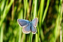 En blå fjäril fryste på ett grönt grässtrå Arkivbilder