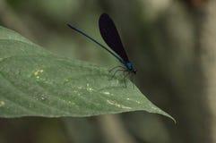 En blå jätte- damselfly på kaffebladet arkivfoto
