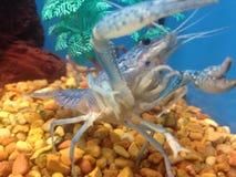En blå kräfta i ett akvarium Fotografering för Bildbyråer