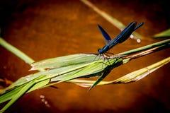 En blå slända på ett grönt blad Fotografering för Bildbyråer