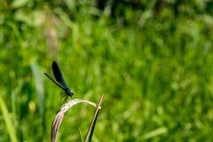 En blå slända på ett grönt blad Arkivfoton