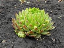 En blomma är det Lithoidal steg Arkivbilder