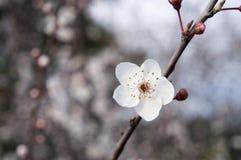 En blomma av det körsbärsröda trädet blodsugare royaltyfri fotografi
